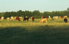 Roseland Organic Farms - cattle